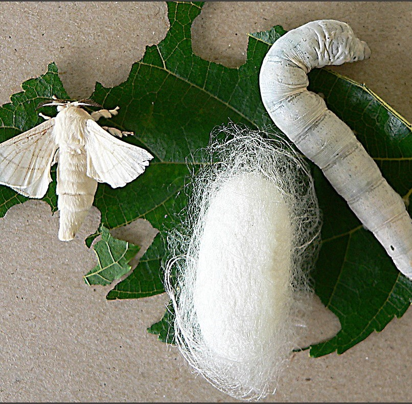 Mulberry Tree, Silkworms
