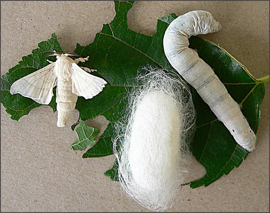 silkworm-insight-on-kashmir